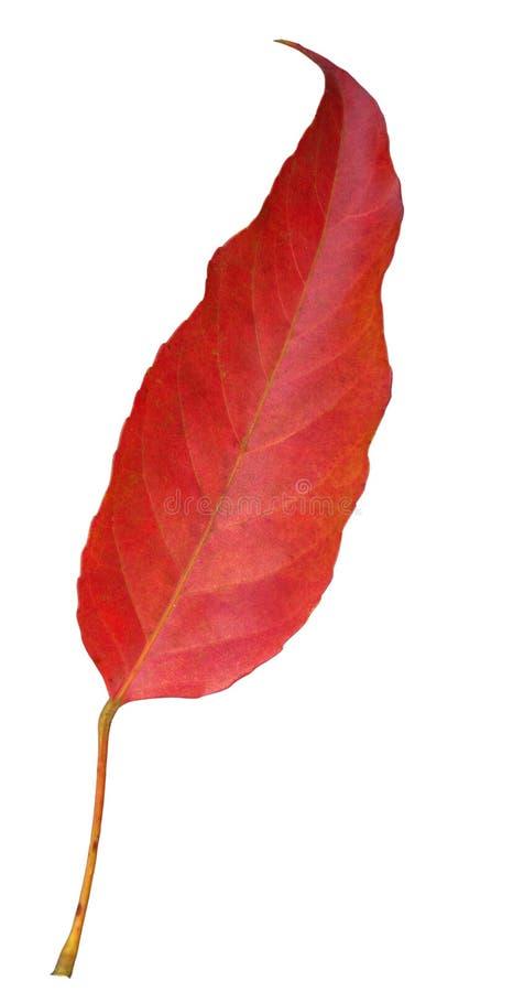 красный цвет листьев стоковые изображения