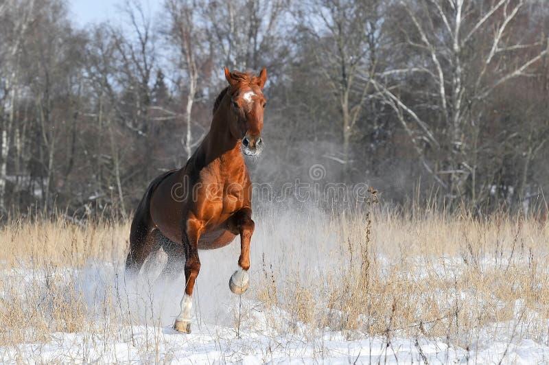 красный цвет лошади gallop бежит зима стоковые фото