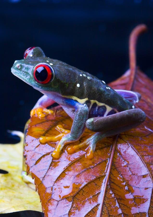 красный цвет лягушки глаза стоковые фото