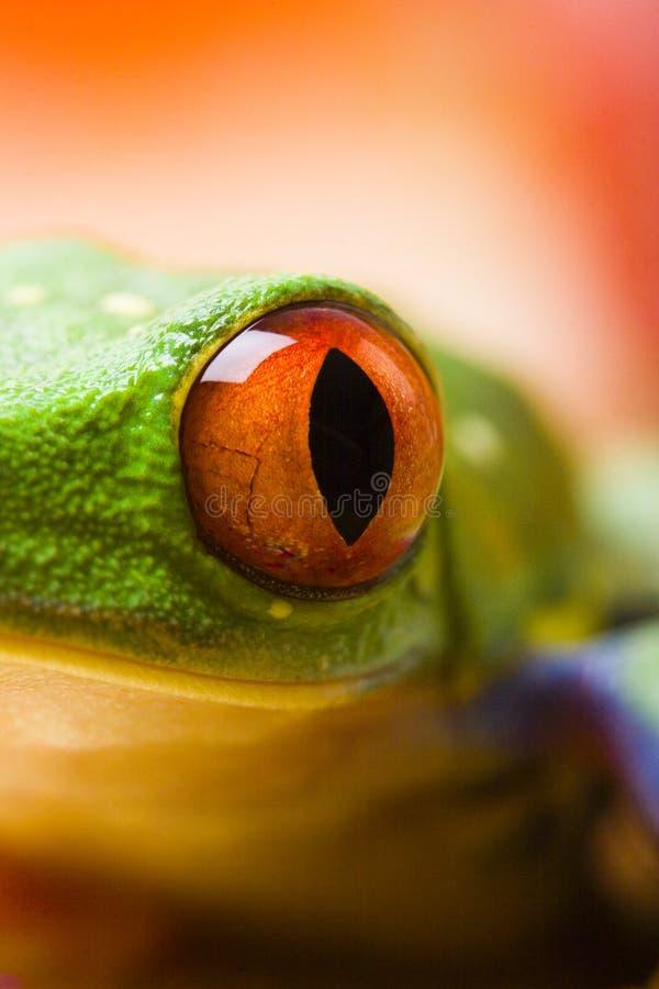 красный цвет лягушки глаза стоковое фото rf