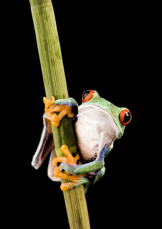 красный цвет лягушки глаза стоковая фотография rf