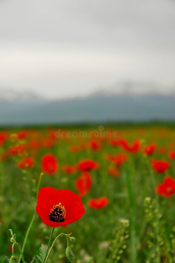 Download красный цвет мака стоковое изображение. изображение насчитывающей вегетация - 6853363