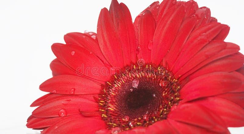 красный цвет маргаритки стоковое изображение rf