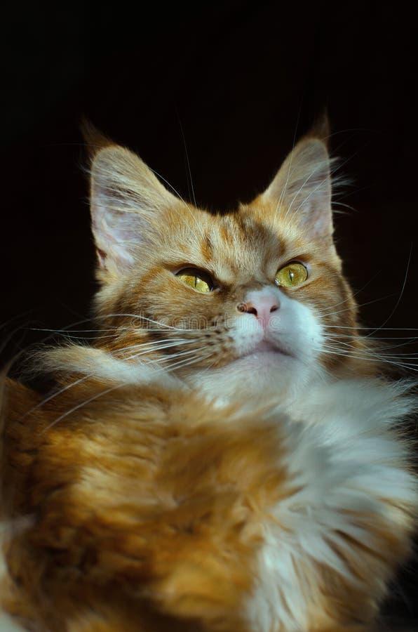 красный цвет Мейна енота кота стоковое изображение rf