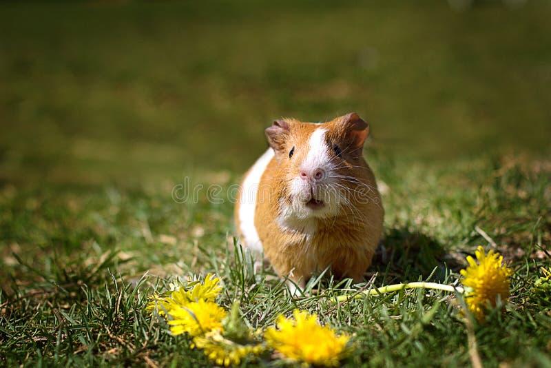 Красный цвет морская свинка сидит перед желтыми одуванчиками стоковое изображение