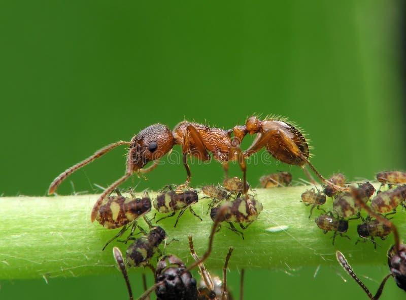 красный цвет муравея стоковые фото
