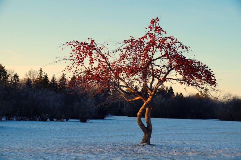 Красный цвет на сини Сиротливое дерево с красными плодами между снежным лугом Парк Фредерик Heubach, Виннипег, Манитоба, Канада стоковое изображение