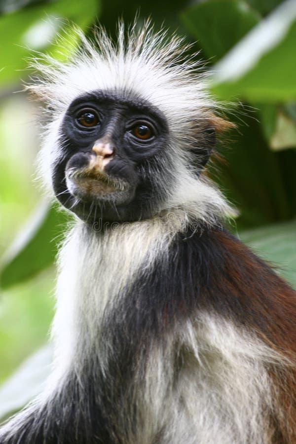 красный цвет обезьяны стоковая фотография rf