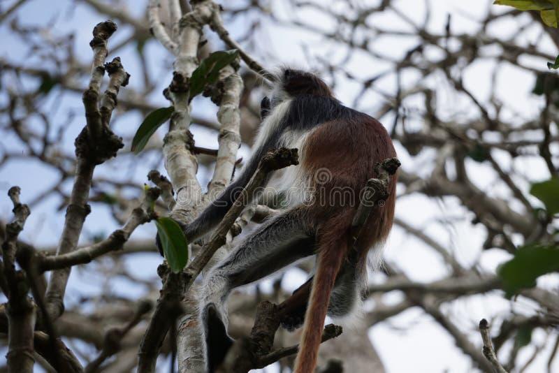 красный цвет обезьяны jozani пущи colobus стоковые изображения rf
