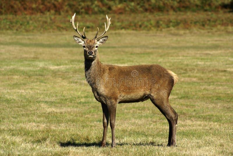красный цвет оленей стоковое изображение
