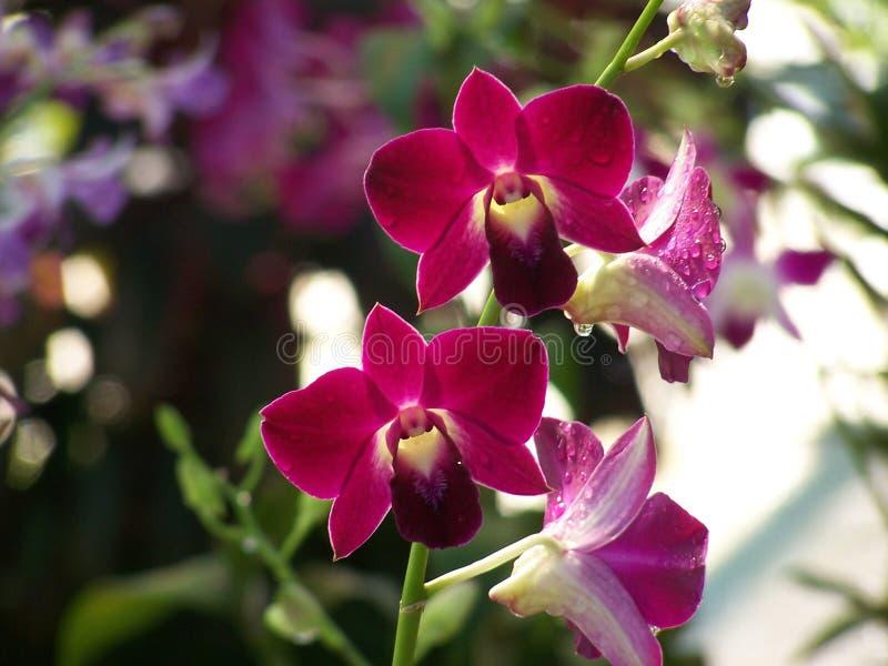красный цвет орхидеи стоковые фотографии rf