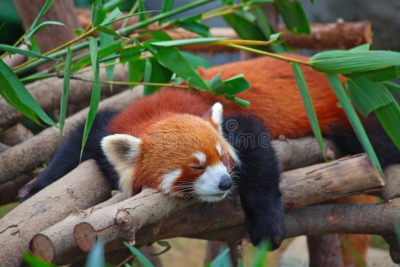 красный цвет панды firefox стоковые фотографии rf