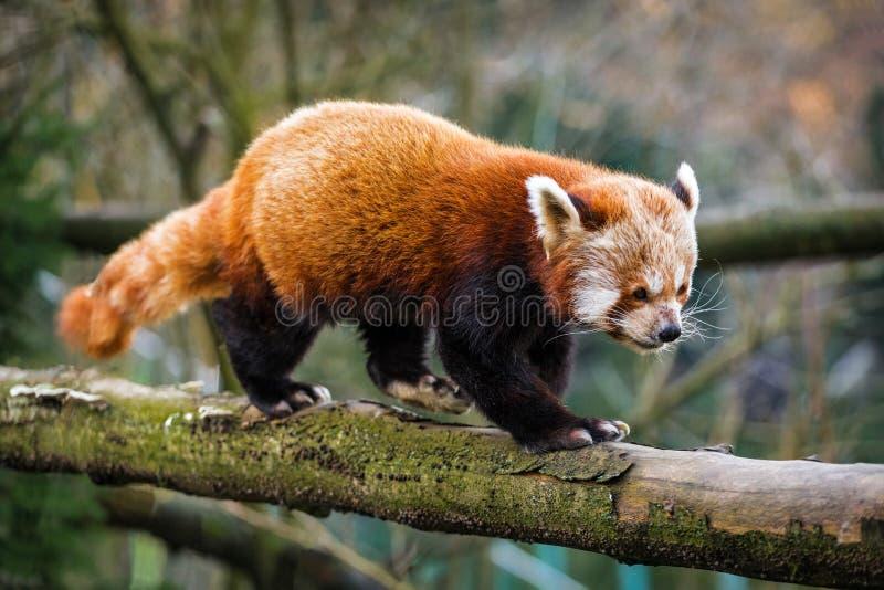 Красный цвет панды стоковые изображения