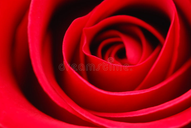 красный цвет поднял стоковые изображения rf