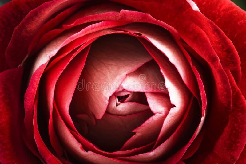 красный цвет поднял стоковое фото rf