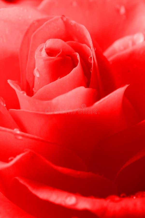 Download красный цвет поднял стоковое изображение. изображение насчитывающей конец - 488151