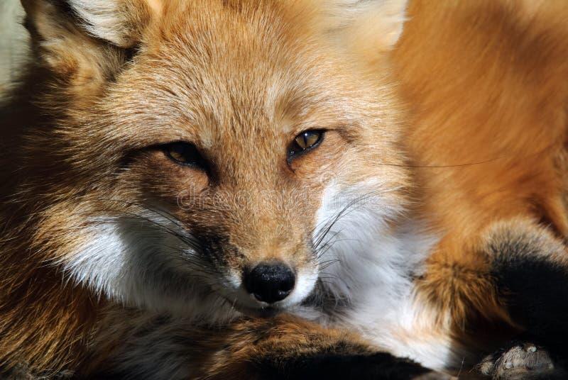 красный цвет портрета лисицы стоковая фотография