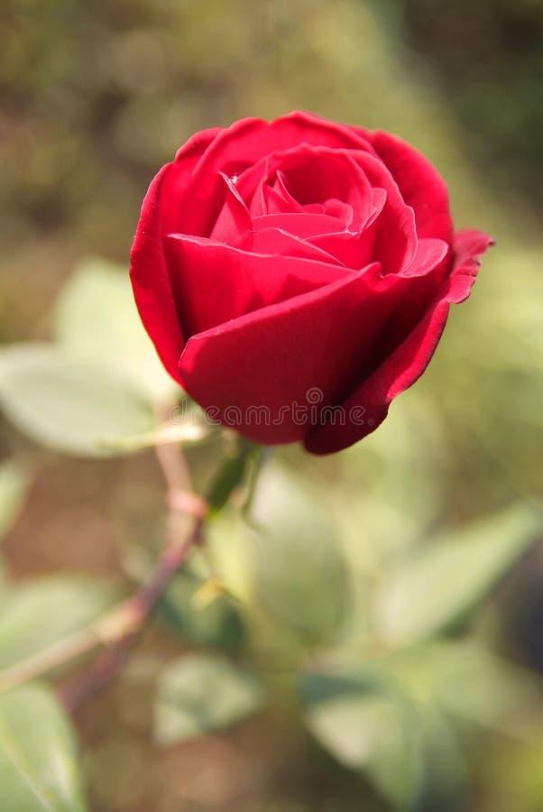 Download красный цвет поднял стоковое изображение. изображение насчитывающей парк - 81800261