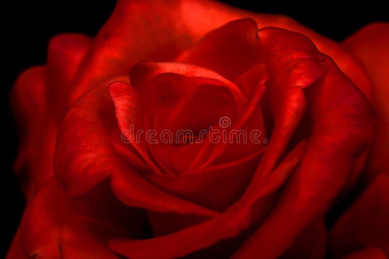 красный цвет предпосылки черный поднял стоковое изображение