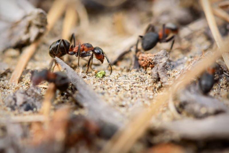 Красный цвет работы крупного плана anthill муравья стоковые фотографии rf