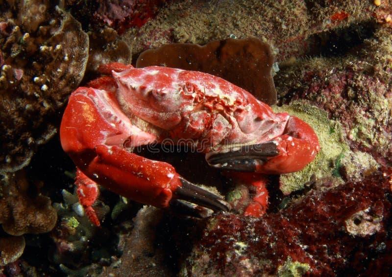 красный цвет рака стоковые изображения rf