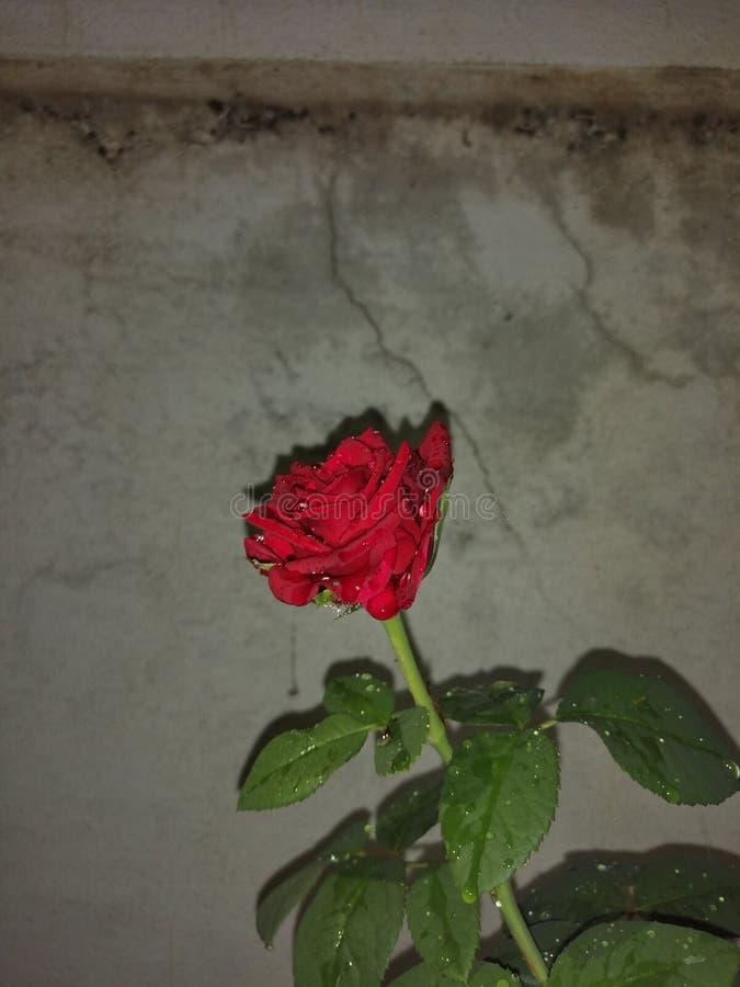 Красный цвет розового цветка должный стоковые фото