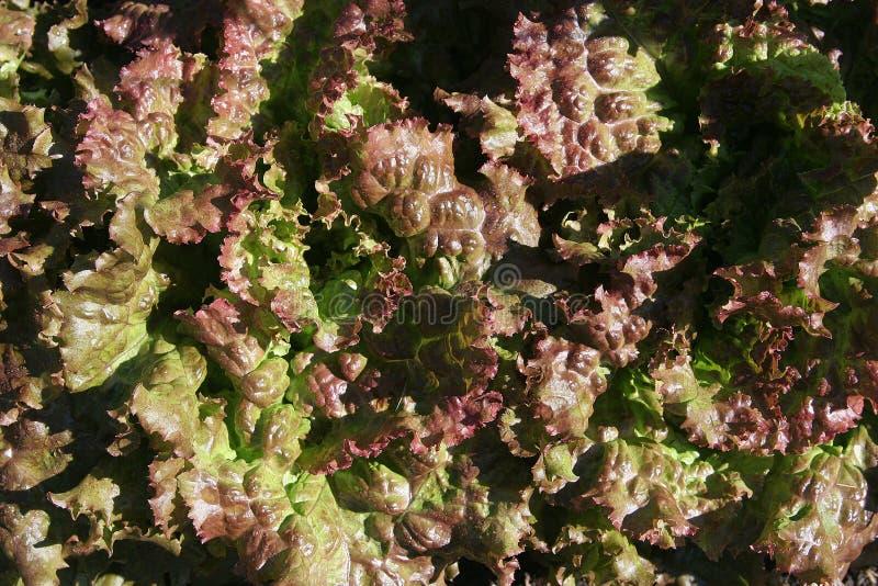 красный цвет салата сада стоковое фото rf