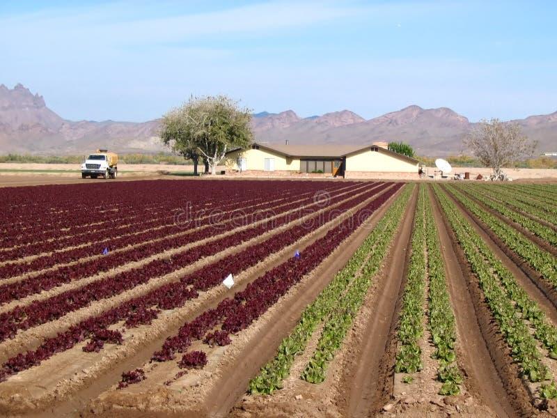 красный цвет салата урожая зеленый стоковое изображение