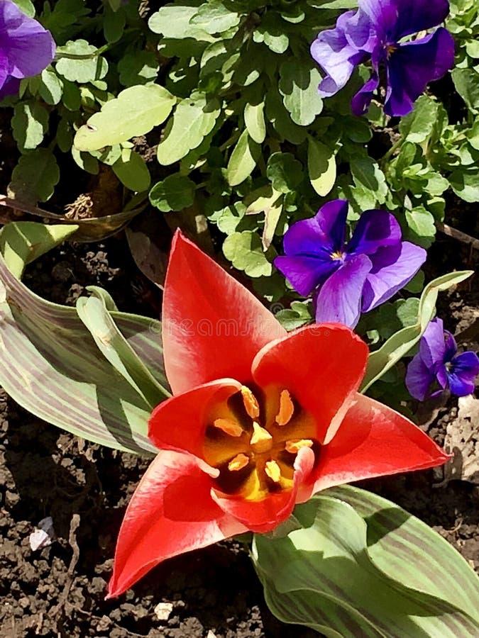 Красный цвет тюльпана стоковая фотография