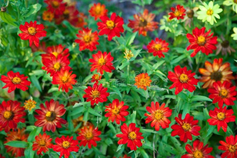 красный цвет хризантемы предпосылки стоковые изображения
