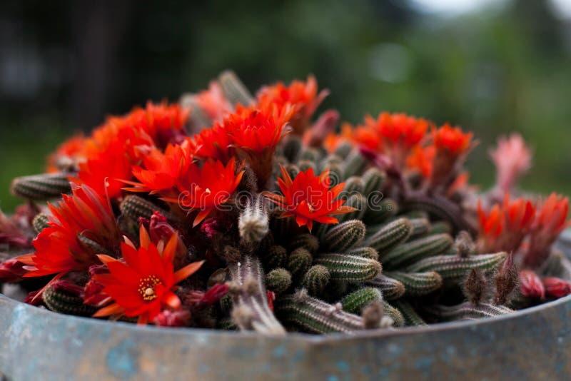 Красный цвет цветет кактус стоковые фото