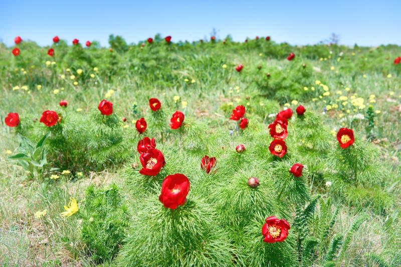 Красный цвет цветет маки на поле стоковое фото rf