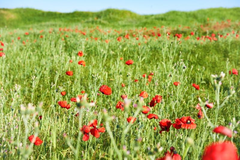 Красный цвет цветет маки на поле стоковое изображение