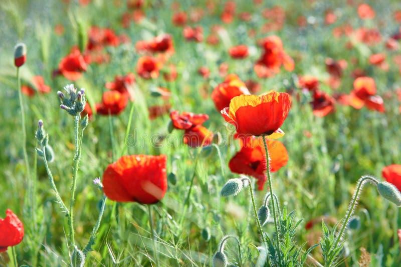 Красный цвет цветет маки на поле стоковые изображения rf