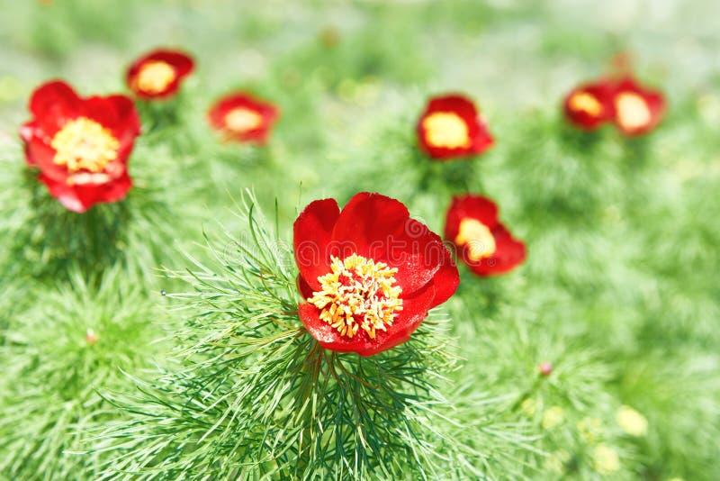 Красный цвет цветет маки на поле стоковые изображения