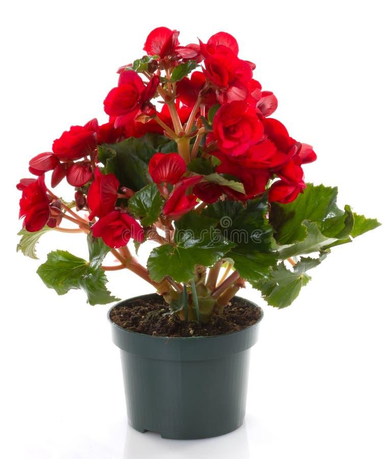 красный цвет цветка бегонии стоковое фото