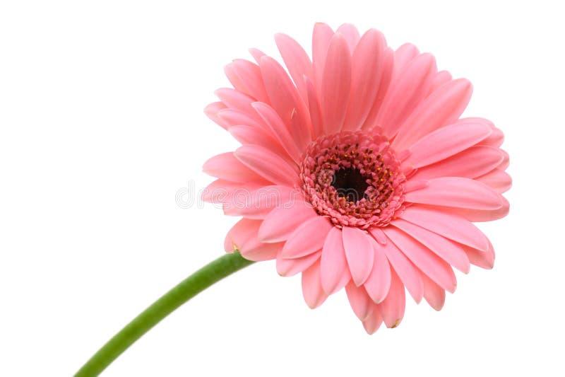 красный цвет цветка маргаритки стоковая фотография rf
