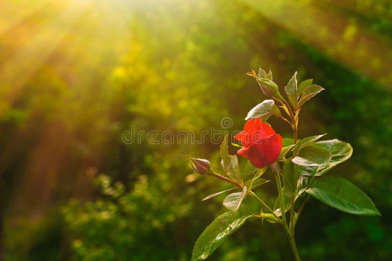 красный цвет цветка поднял стоковая фотография