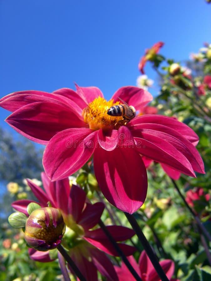 Download красный цвет цветка пчелы стоковое фото. изображение насчитывающей цветень - 78494