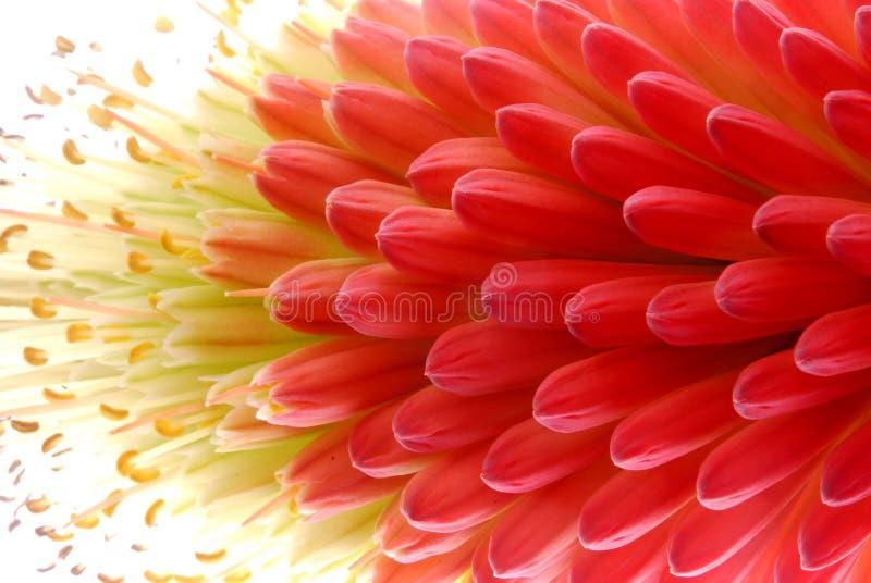 красный цвет цветка стоковые изображения rf