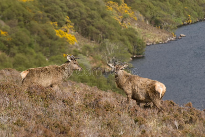 красный цвет Шотландия оленей стоковые фотографии rf