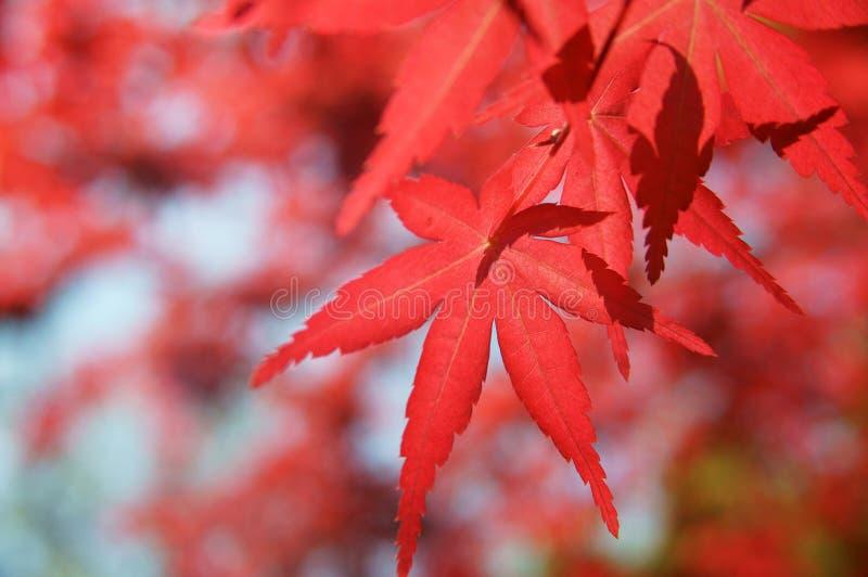 красный цвет японского клена стоковая фотография rf