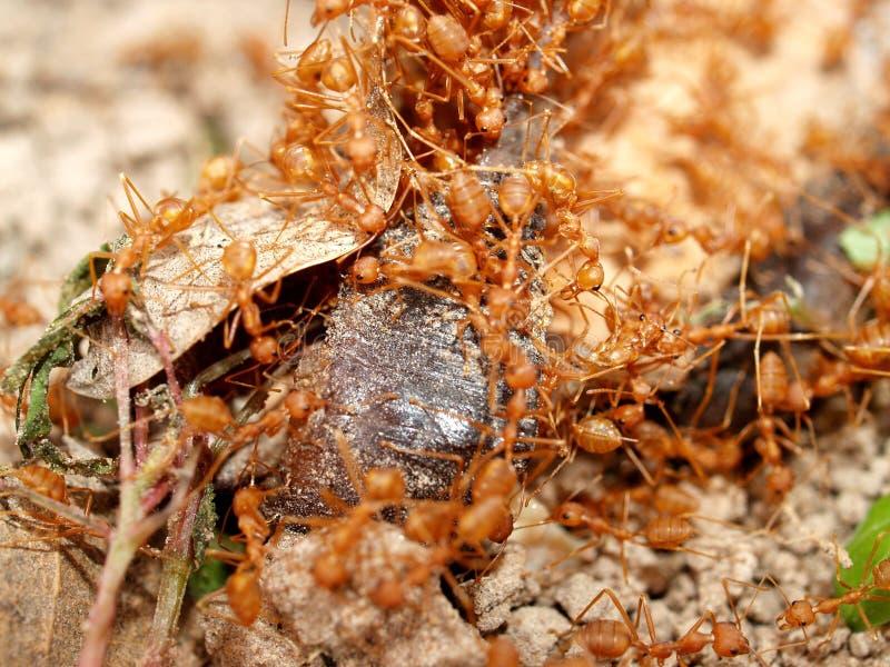 красный цвет 04 муравеев стоковые фотографии rf