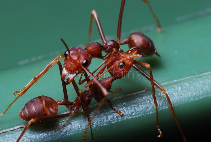 красный цвет 2 муравеев стоковые изображения rf