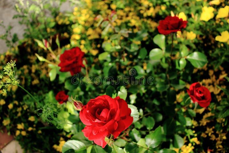 красный цвет bush поднял стоковые изображения rf