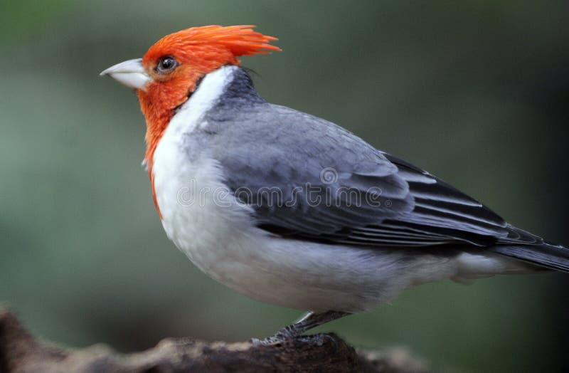 красный цвет crested cardinal стоковая фотография