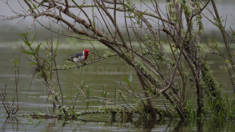 красный цвет crested cardinal стоковые фото