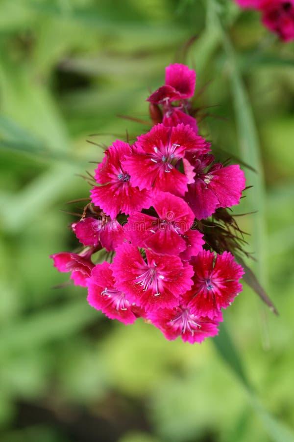 красный цвет dianthus barbatus стоковое изображение rf
