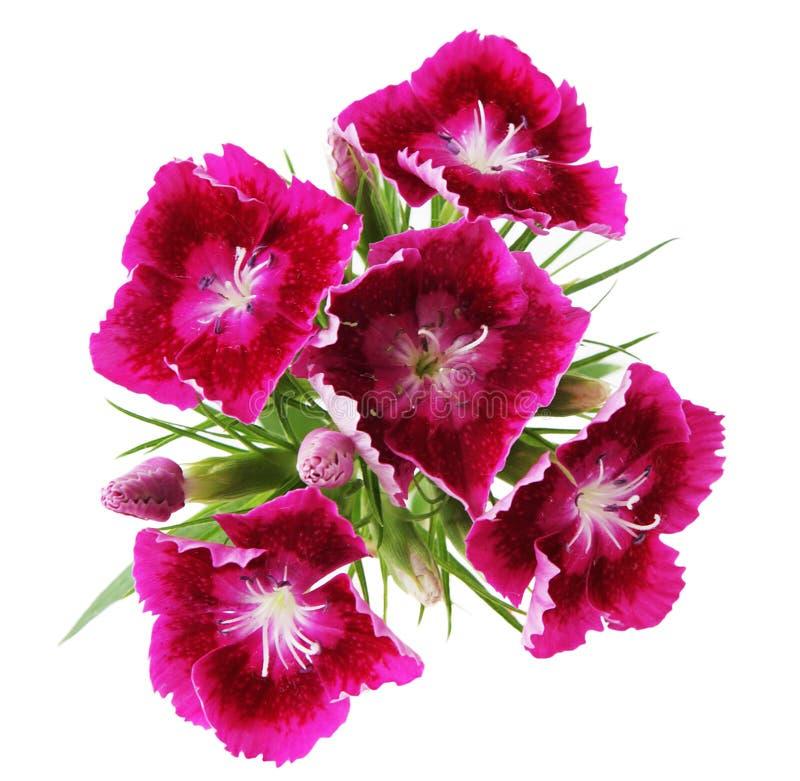 красный цвет dianthus bartatus стоковые фотографии rf