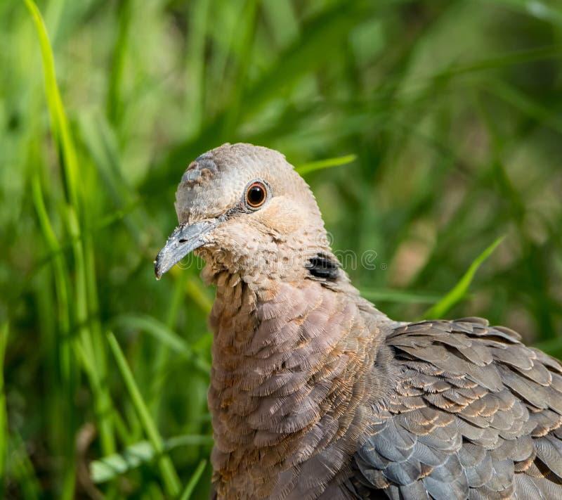 красный цвет eyed dove стоковые фото